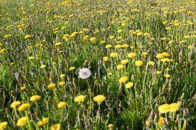 2152228-alone-white-dandelion-among-yellow-flowers-on-field